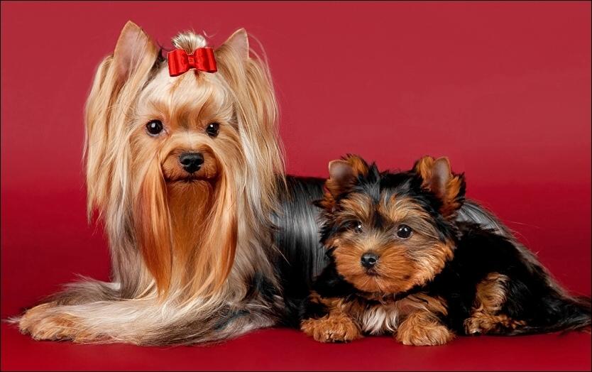 1. Deutscher Yorkshire-Terrier-Club eV